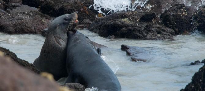 Otago, lions de mer et pingouins bleus – Otago sea lions and blue penguins